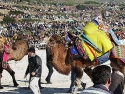 Camel wrestling : in the mild winter (end of December) on the Aegean coast you can watch camel fights at the Mumcular Stadium in Mugla, a bloodless sport, where over 100 camels from all over Turkey contesting their strength to see which camel can hold his opponent down the longest.